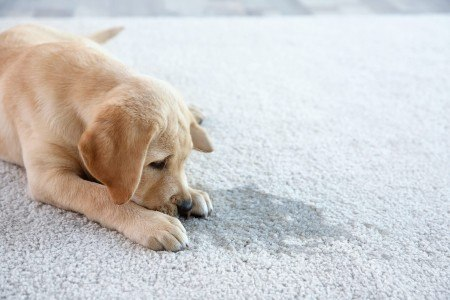Benefits of Hiring a Pet Stain Removal Services in New Jersey