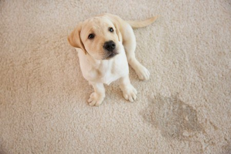 Eliminate Pet Urine Forever - PowerPro Carpet and Rug Cleaning Service